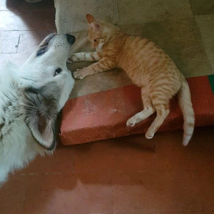 cagliostrino L'incredibile potere di Odino su ogni gatto di casa, neppure i nuovi arrivati so... caniegatti mastinopirenei pastoremaremmano