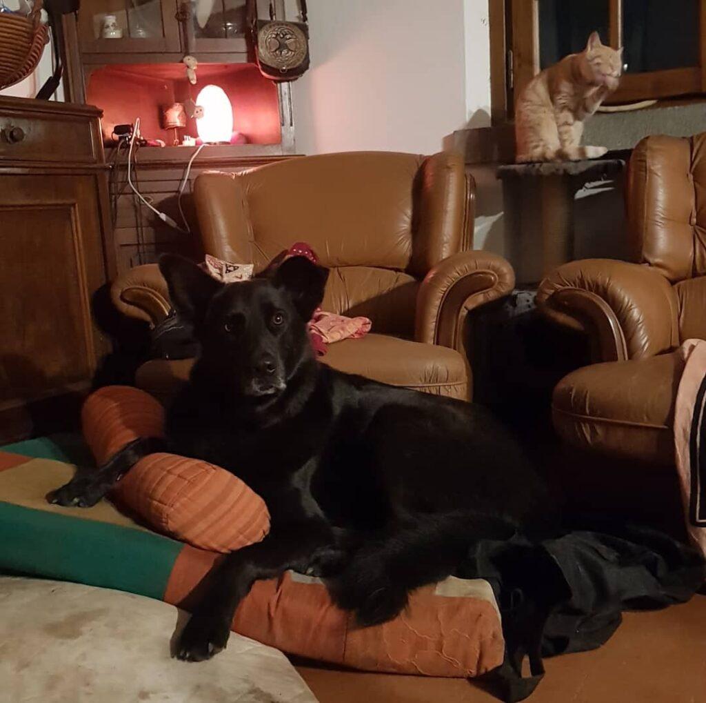 cagliostrino Il principe... ... blackwolf casacagliostrino dogandcat dogs_of_instagram instaaddict instadog instadogclub instadoglovers instalovers luponero pazuzu