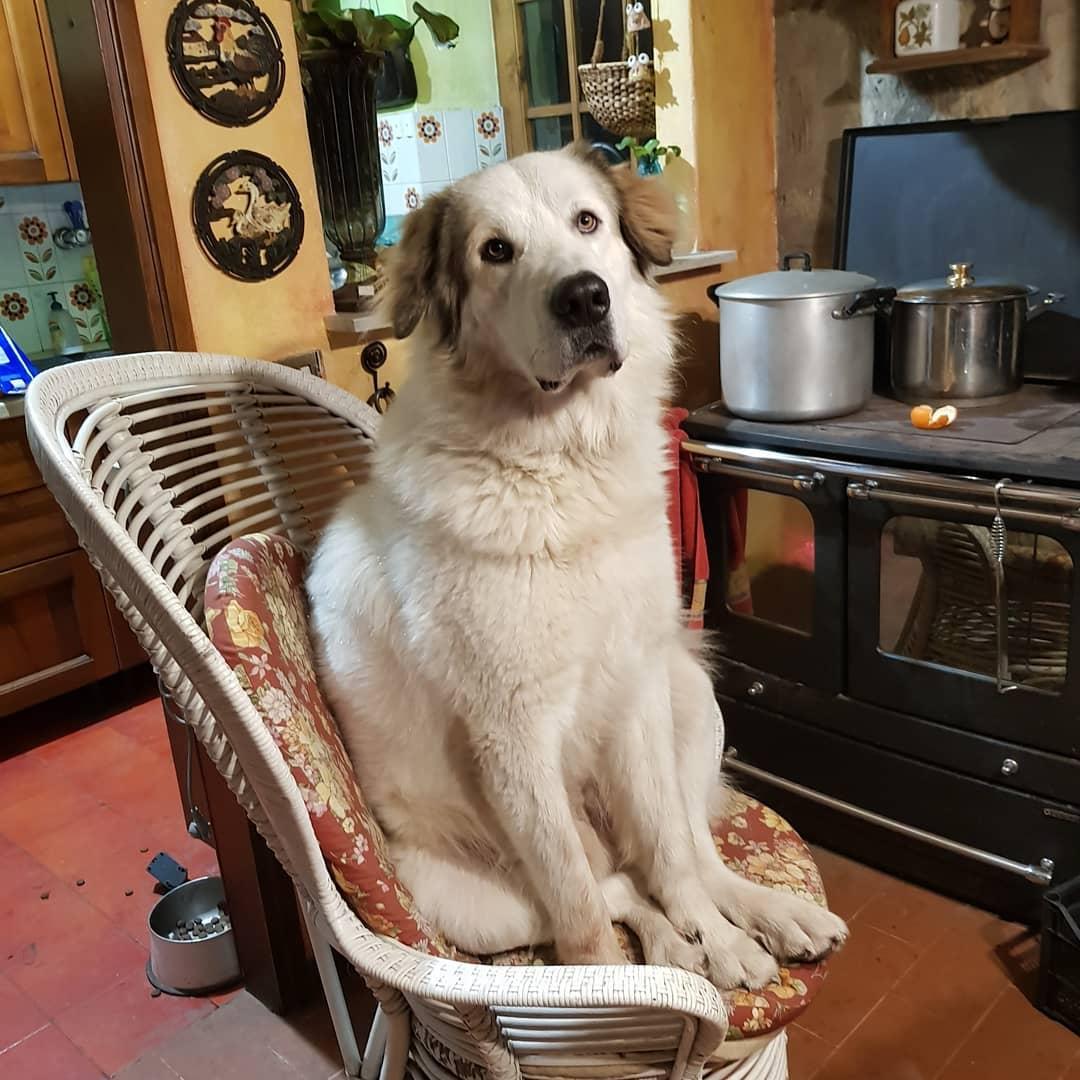cagliostrino  Orsi che si credono Cani che si credono Gatti           ... casacagliostrino dogs_of_instagram instadog lovemydog maremmano mastinodeipirenei mastinopirenei odino