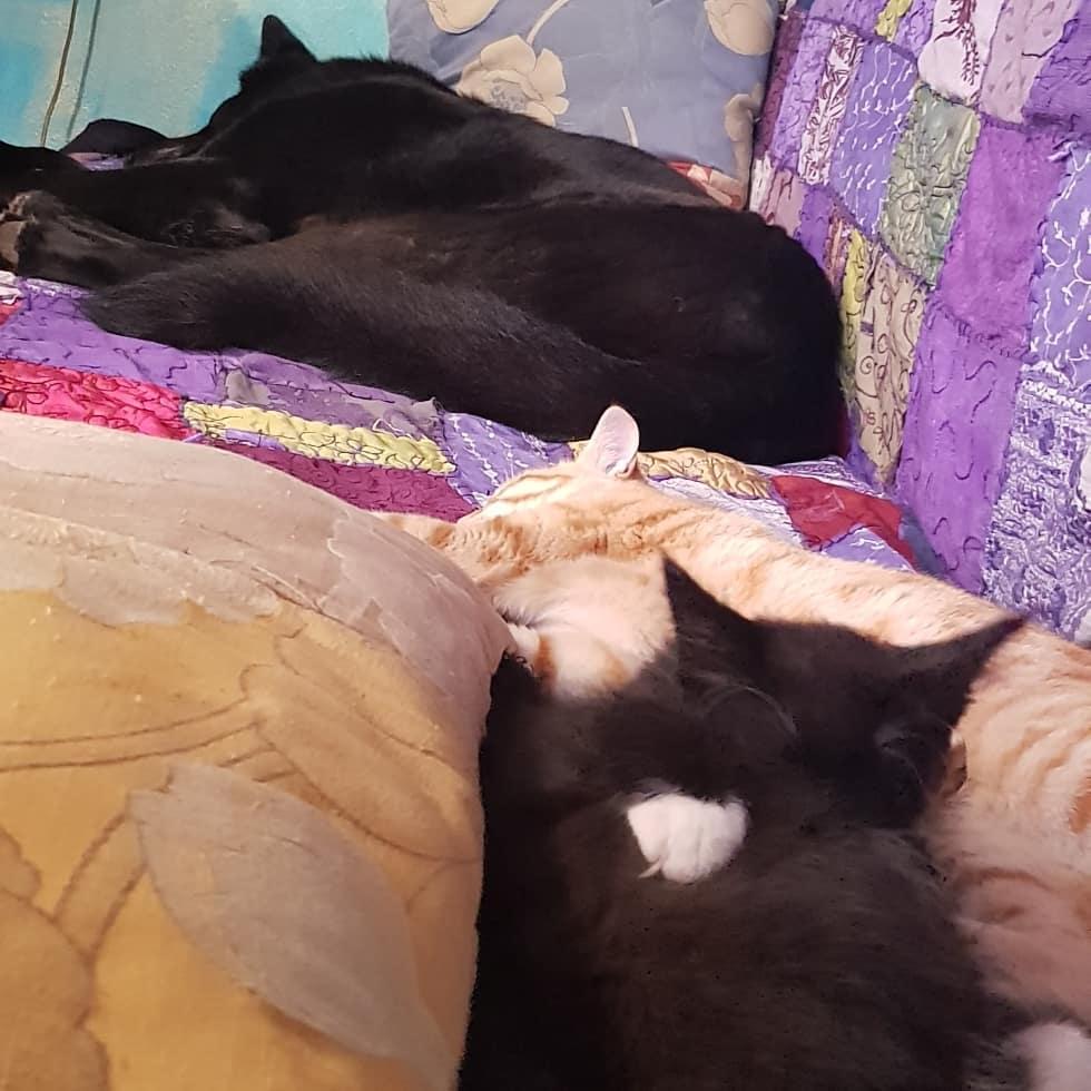 cagliostrino  Un po' di Pandemonio      ... casacagliostrino catsofinstagram kitten kittenmainecoon mainecoon mainecooncat