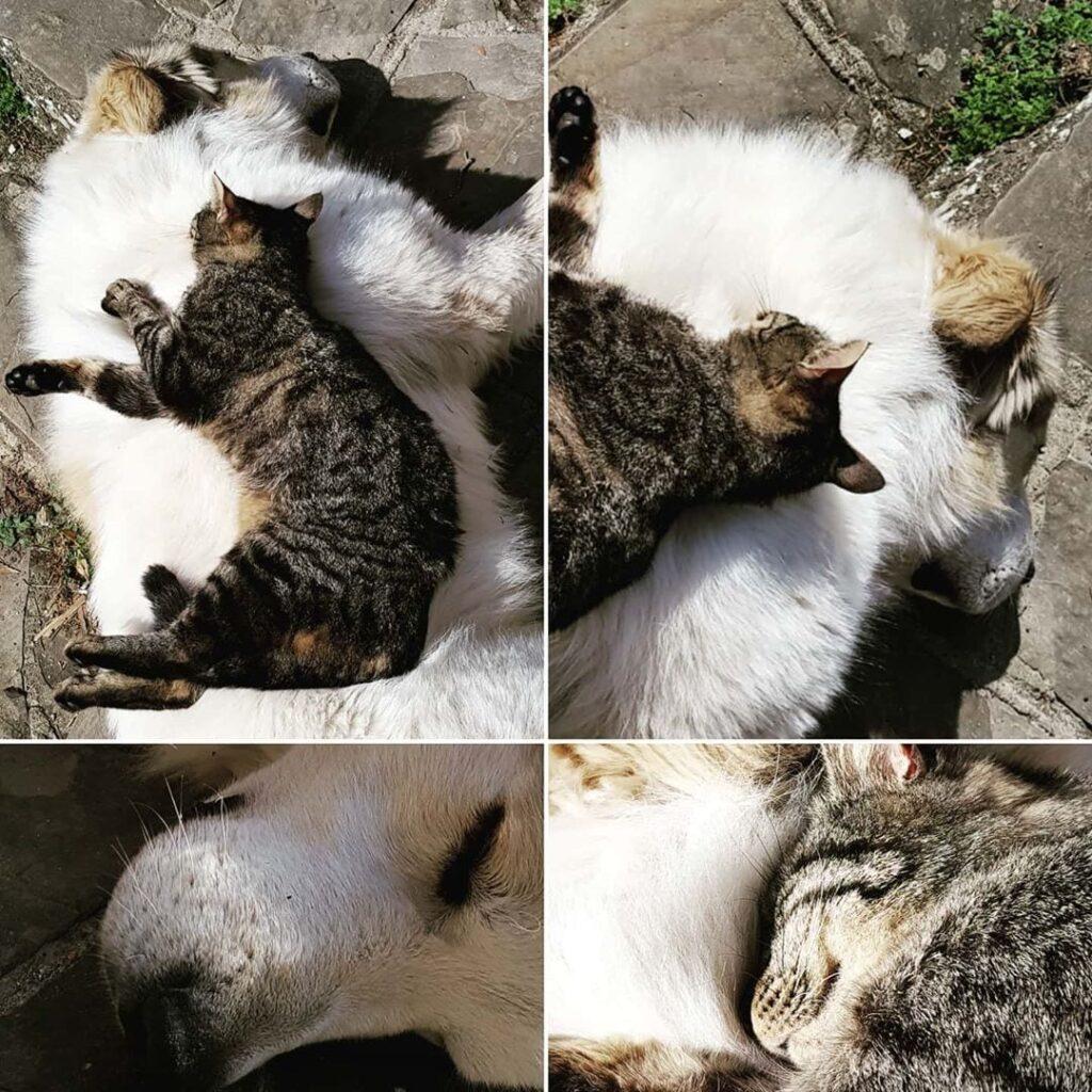 cagliostrino ... non ho parole... certo che i gatti sono un passo avanti... ... caniegatti casacagliostrino cat dogandcat dogs_of_instagram mastinopirenei
